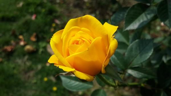 Rosenfarben und ihre Bedeutung – So treffen Sie die richtige Wahl für jeden Anlass gelbe rose sonne