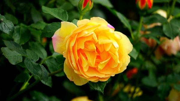 Rosenfarben und ihre Bedeutung – So treffen Sie die richtige Wahl für jeden Anlass gelbe rose sonnige farben