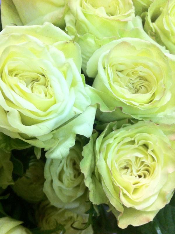 Rosenfarben und ihre Bedeutung – So treffen Sie die richtige Wahl für jeden Anlass grüne rosen natürlich