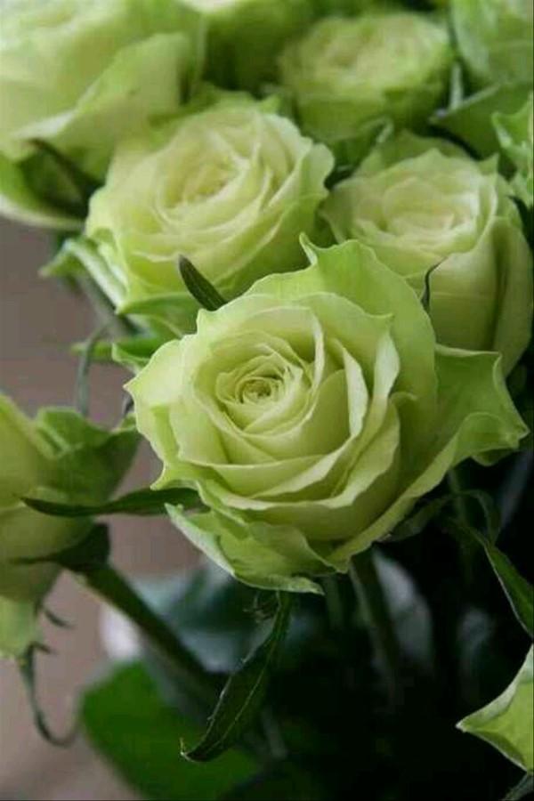 Rosenfarben und ihre Bedeutung – So treffen Sie die richtige Wahl für jeden Anlass grüne rosen schön