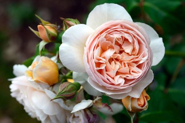 Rosenfarben und ihre Bedeutung – So treffen Sie die richtige Wahl für jeden Anlass juliet rose teuerste rose der welt