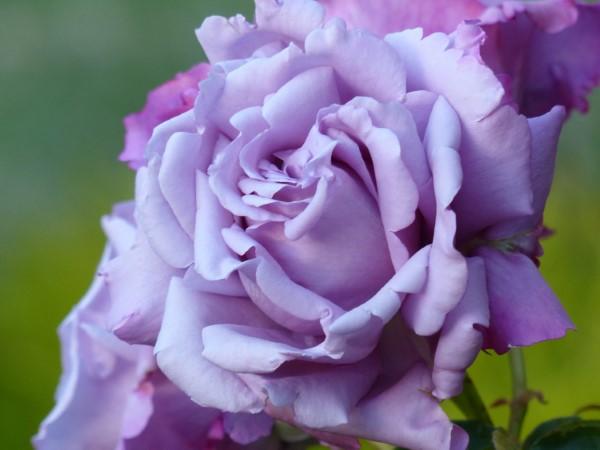 Rosenfarben und ihre Bedeutung – So treffen Sie die richtige Wahl für jeden Anlass lila rose schön gefärbt