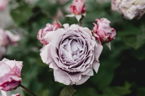 Rosenfarben und ihre Bedeutung – So treffen Sie die richtige Wahl für jeden Anlass lila rose schön wahrhaft