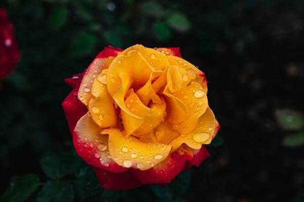 Rosenfarben und ihre Bedeutung – So treffen Sie die richtige Wahl für jeden Anlass orange rose feurig