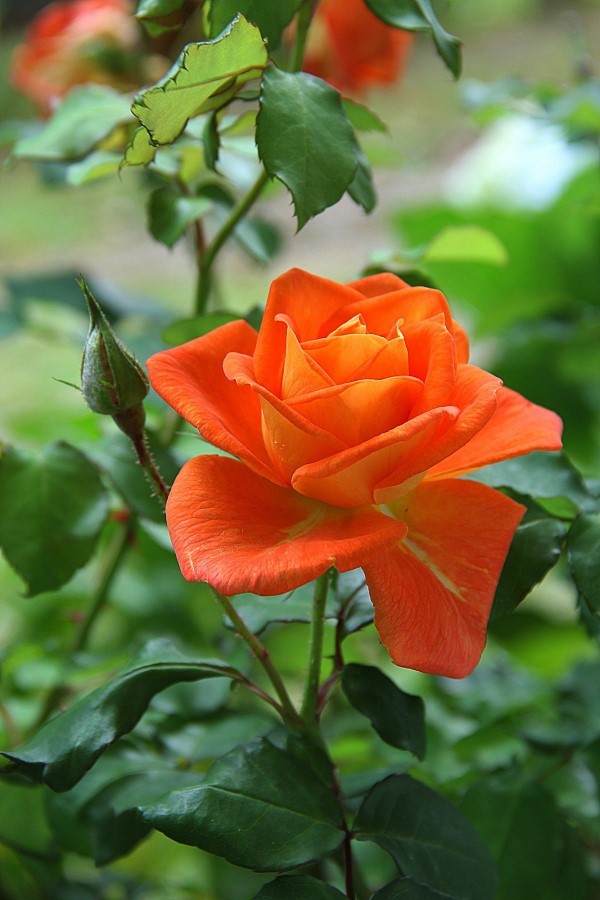 Rosenfarben und ihre Bedeutung – So treffen Sie die richtige Wahl für jeden Anlass orange rose schön intensiv