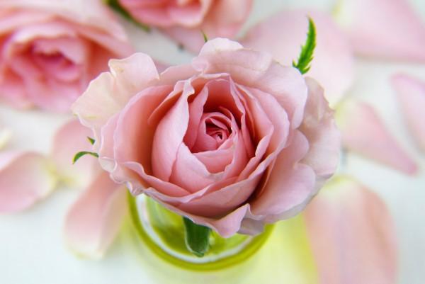 Rosenfarben und ihre Bedeutung – So treffen Sie die richtige Wahl für jeden Anlass rosa rosen feminin