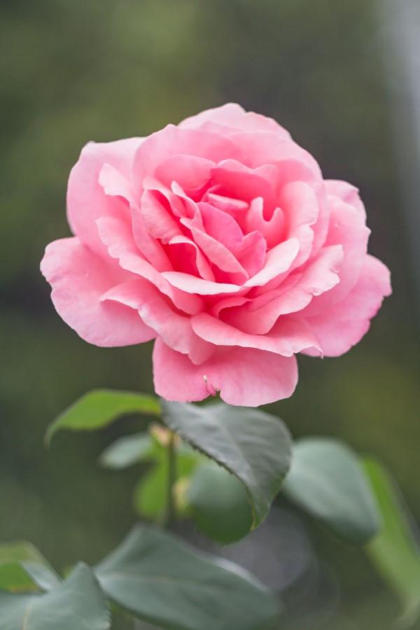 Rosenfarben und ihre Bedeutung – So treffen Sie die richtige Wahl für jeden Anlass rosa rosen schön romantisch