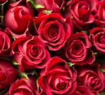 Rosenfarben und ihre Bedeutung – So treffen Sie die richtige Wahl für jeden Anlass