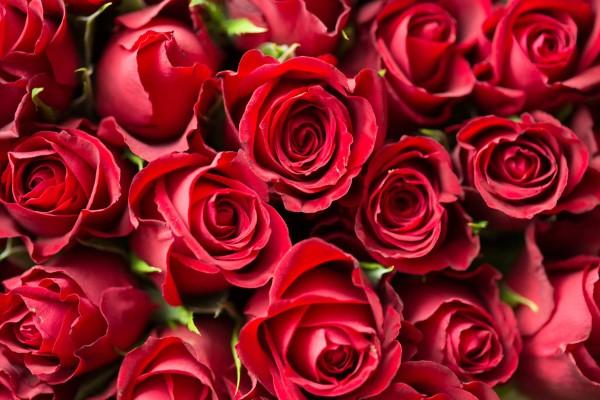 Rosenfarben und ihre Bedeutung – So treffen Sie die richtige Wahl für jeden Anlass rote rosen liebe