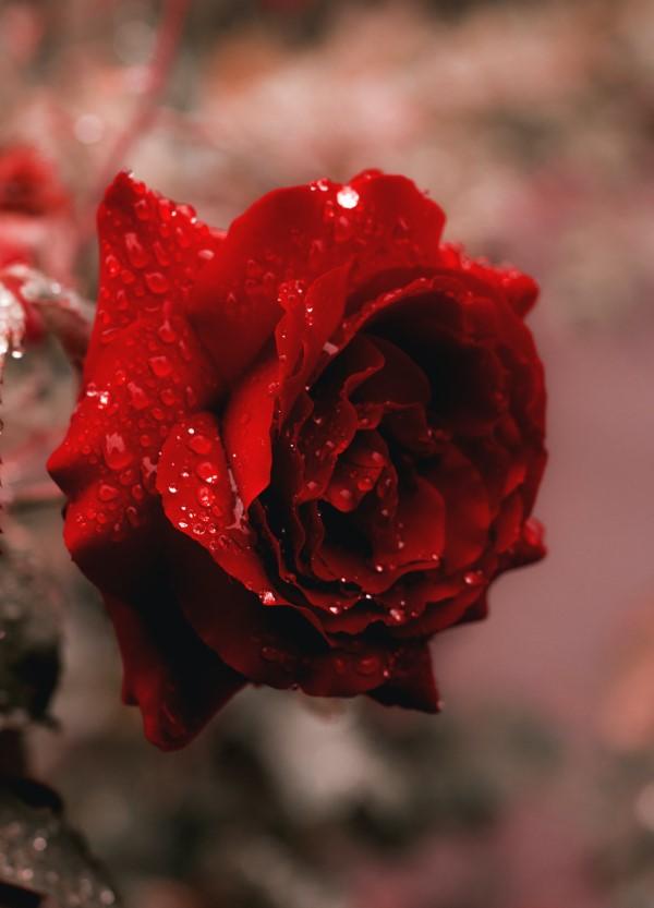 Rosenfarben und ihre Bedeutung – So treffen Sie die richtige Wahl für jeden Anlass rote rosen schön klassisch