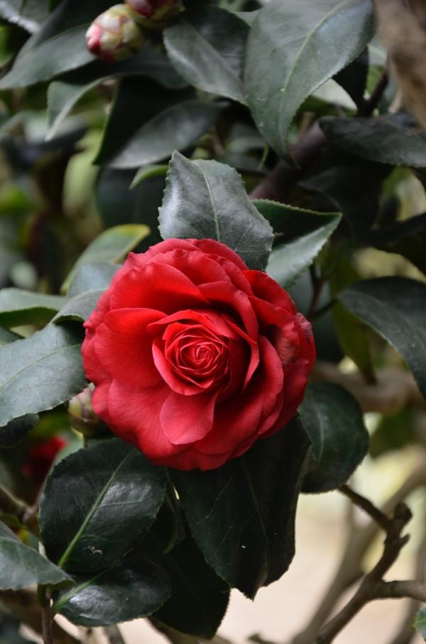 Rosenfarben und ihre Bedeutung – So treffen Sie die richtige Wahl für jeden Anlass rote rote intensiv