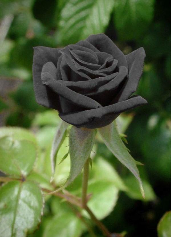 Rosenfarben und ihre Bedeutung – So treffen Sie die richtige Wahl für jeden Anlass schwarze rose schön mysteriös