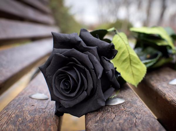 Rosenfarben und ihre Bedeutung – So treffen Sie die richtige Wahl für jeden Anlass schwarze rose unnatürlich aber schön
