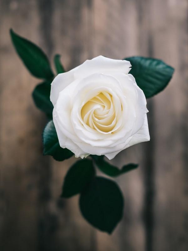 Rosenfarben und ihre Bedeutung – So treffen Sie die richtige Wahl für jeden Anlass weiße rosen hochzeit