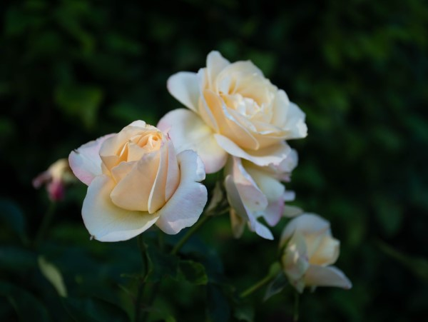Rosenfarben und ihre Bedeutung – So treffen Sie die richtige Wahl für jeden Anlass weiße rosen prachtvoll