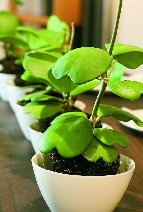 Schlaue und liebevolle Valentinsgeschenke für Damen und Herren zimmerpflanze herzen kletterpflanze