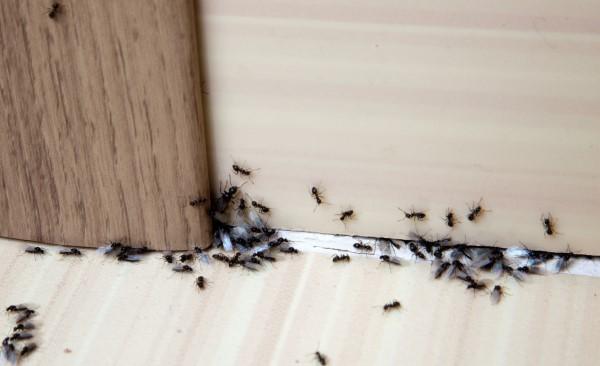 Ungebetene Hausgäste nachhaltig gegen Insekten im Haus und Wohnung vorgehen ameisen im haus