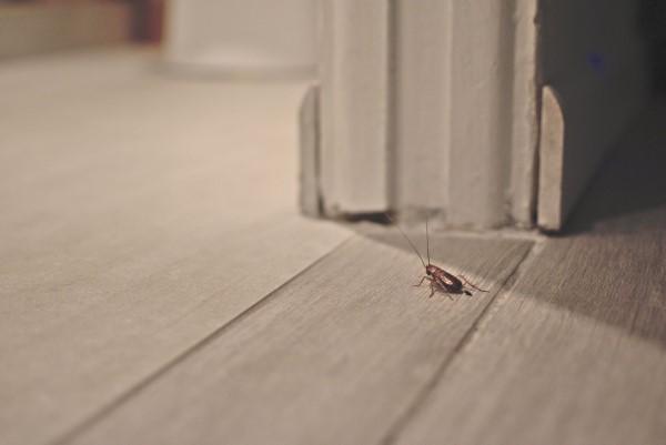 Ungebetene Hausgäste nachhaltig gegen Insekten im Haus und Wohnung vorgehen kakerlacke schabe zuhause