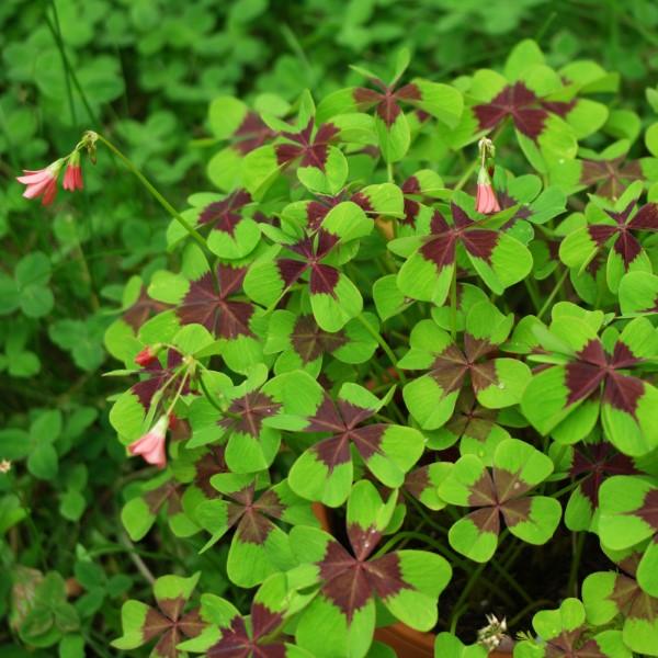 Τετράφυλλο τριφύλλι - συμβουλές περιποίησης και πράγματα που πρέπει να γνωρίζετε για το τυχερό τριφύλλι όμορφο πράσινο τριφύλλι