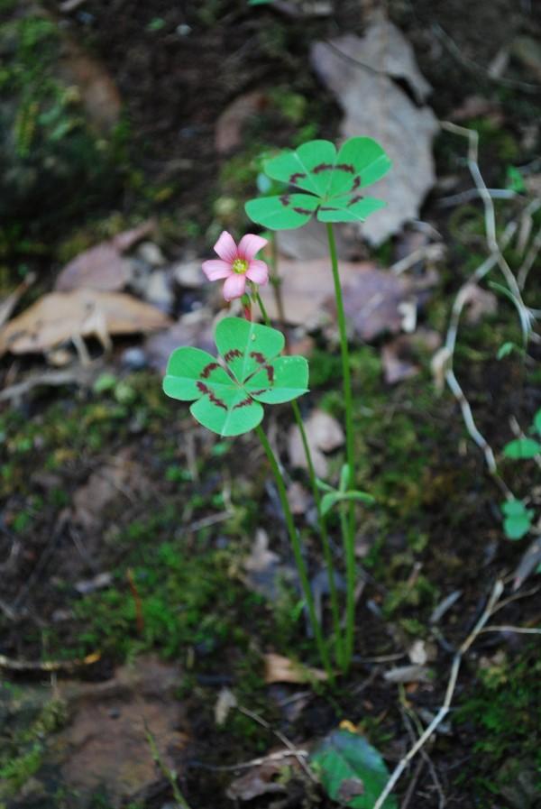 Τετράφυλλο τριφύλλι - συμβουλές φροντίδας και πράγματα που αξίζει να γνωρίζετε το τυχερό τριφύλλι στην άγρια φύση