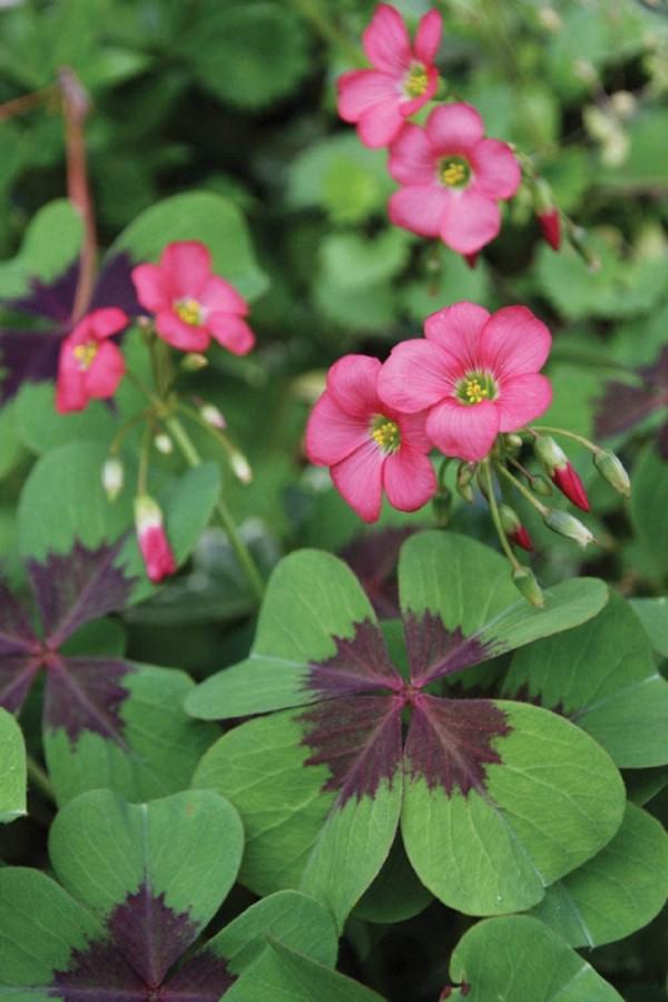 Τετράφυλλο τριφύλλι - όμορφες συμβουλές φροντίδας εσύ nd ενδιαφέροντα γεγονότα για το τυχερό τριφύλλι τριφύλλι με ροζ άνθος