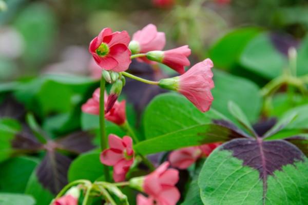 Vierblättriges Kleeblatt – Pflegetipps und Wissenswertes über dem Glücksklee rosa blüten hübsch