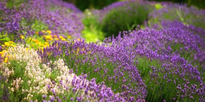 Welche Kräuter passen zusammen lavendel