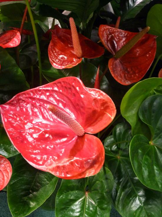 blühende Zimmerpflanzen Anthurie sehr attraktive Erscheinung rote Blüten symbolisiert männliche Kraft