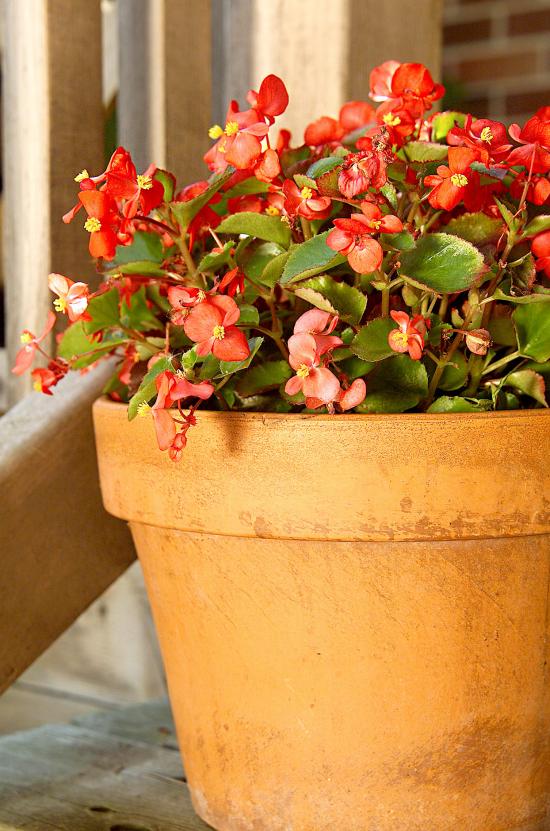 blühende Zimmerpflanzen Begonie in den warmen Monaten nach draußen bringen