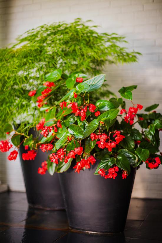 blühende Zimmerpflanzen Begonien viele Arten kleine rote Blüten attraktiv