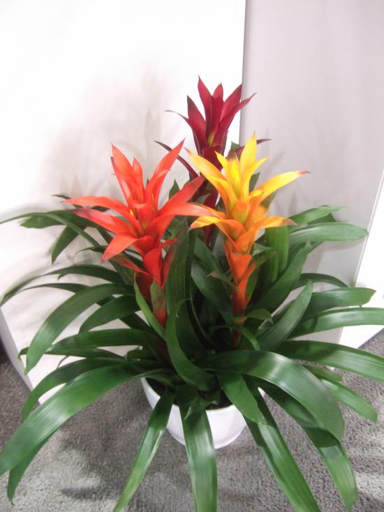 blühende Zimmerpflanzen Bromelie dunkelgrüne Blätter attraktive Blüten in Orange Gelb Rot