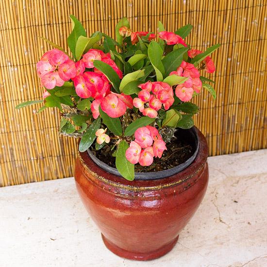 blühende Zimmerpflanzen Christusdorn pflegeleicht kleine rote Blüten