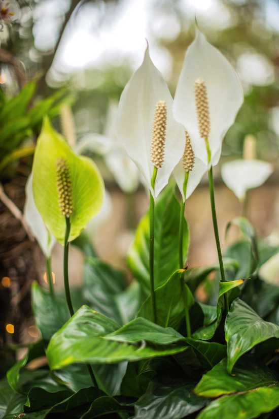 blühende Zimmerpflanzen Friedenslilie sehr attraktiv lange Stiele weiße Blüten