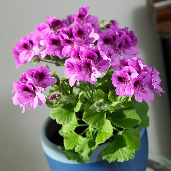 blühende Zimmerpflanzen Geranie pflegeleicht schöne rosa Blüten Hingucker drinnen und draußen
