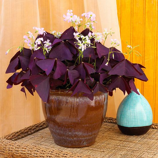 blühende Zimmerpflanzen Glücksklee lilafarbene Blätter dreieckige Form zarte helllila Blüten