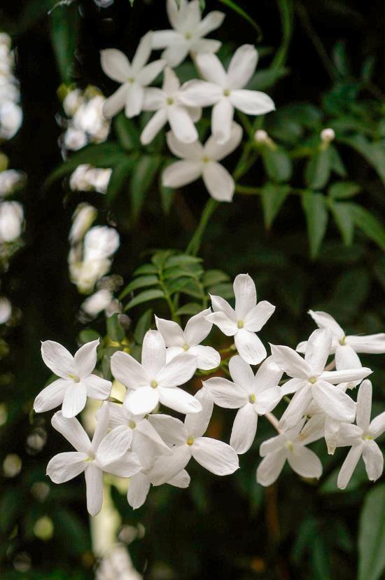 blühende Zimmerpflanzen Jasmin zarte kleine weiße Blüten herrlicher Duft Blickfang