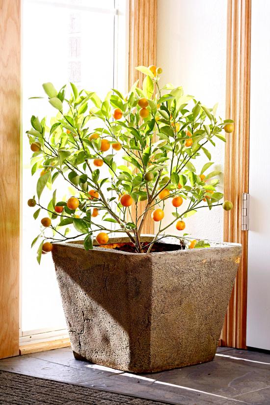 blühende Zimmerpflanzen Orangenbaum im Topf an der Fensterbank viel Sonnenlicht Hingucker im Raum