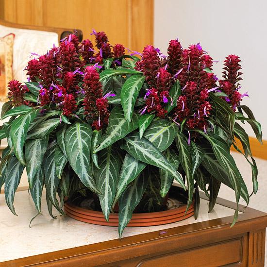 blühende Zimmerpflanzen Schönheit optische Kontraste dunkelrote Blüten elegante längliche grüne Blättert