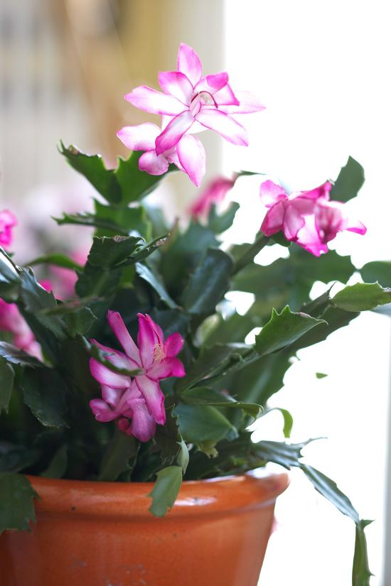 blühende Zimmerpflanzen Weihnachtskaktus blüht zu Weihnachten schöne rosa Blüten