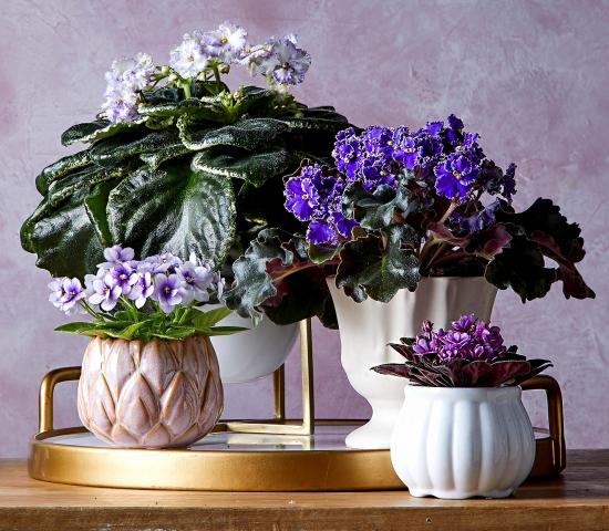 blühende Zimmerpflanzen afrikanisches Veilchen einige Topfpflanzen herrliche Blüten