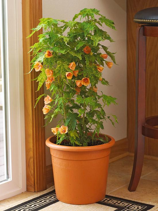 blühende Zimmerpflanzen hellgrüne Blätter orangefarbene zarte Blüten