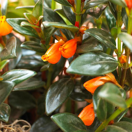 blühende Zimmerpflanzen orangenfarbene trichterförmige Blüten glänzende dunkelgrüne Blätter