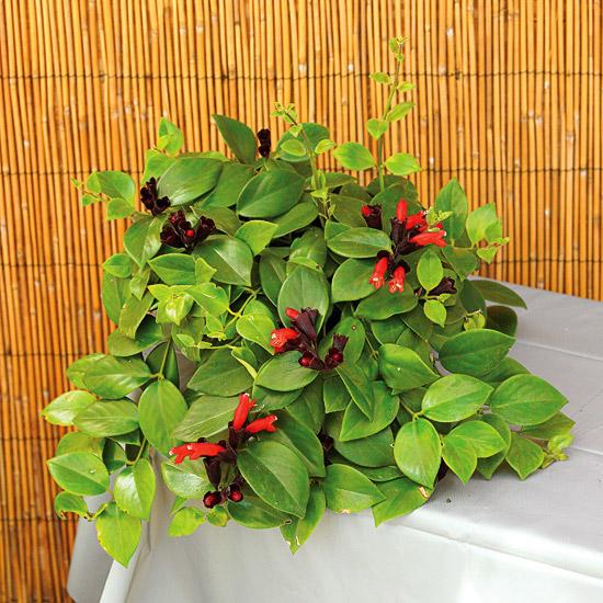 blühende Zimmerpflanzen schöne hellgrüne Blätter kleine rote Blüten Hingucker im Raum