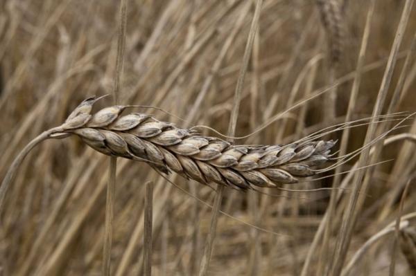 emmer farro alte getreidesorten