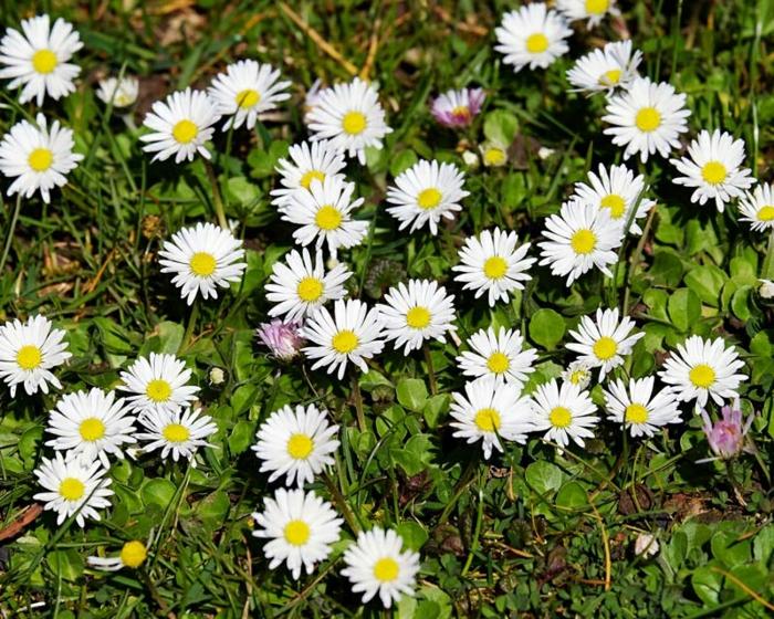 essbare wildkräuter gänseblümchen