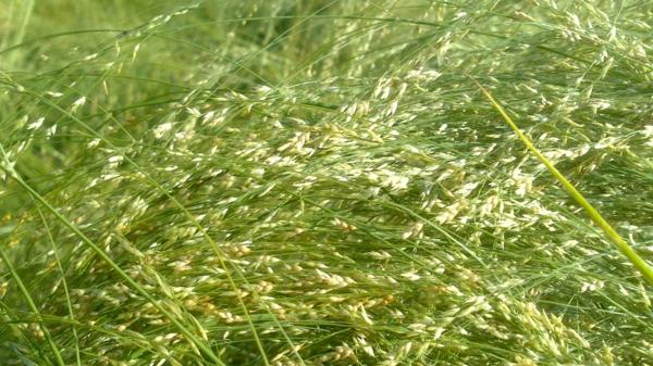 grüne halme teff zwerghirse getreidesorten