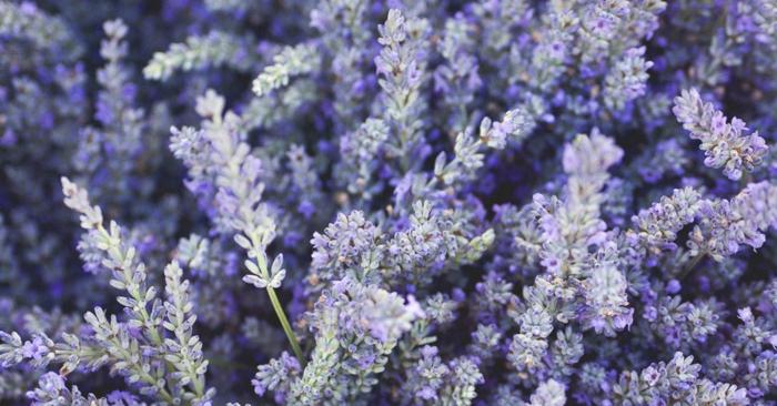 kräuterlexikon heilpflanzen lavendel