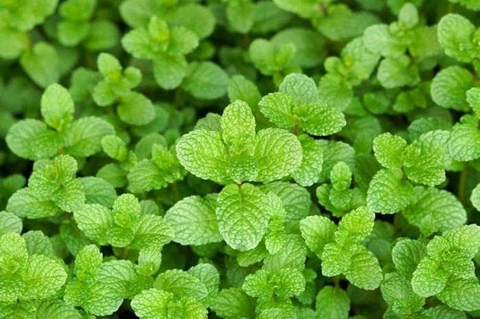 kräuterlexikon heilpflanzen minze