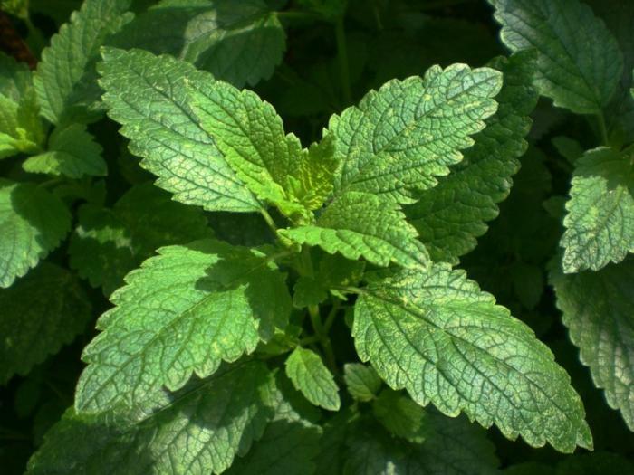 kräuterlexikon heilpflanzen zitronenmelisse