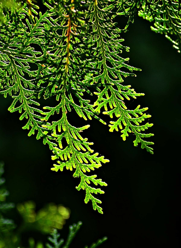 thuja hecke immergräne heckenpflanzen